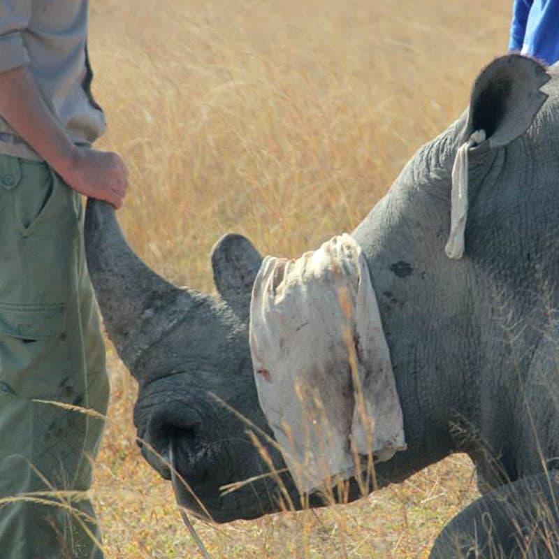 Imire Black Rhino Dehorning