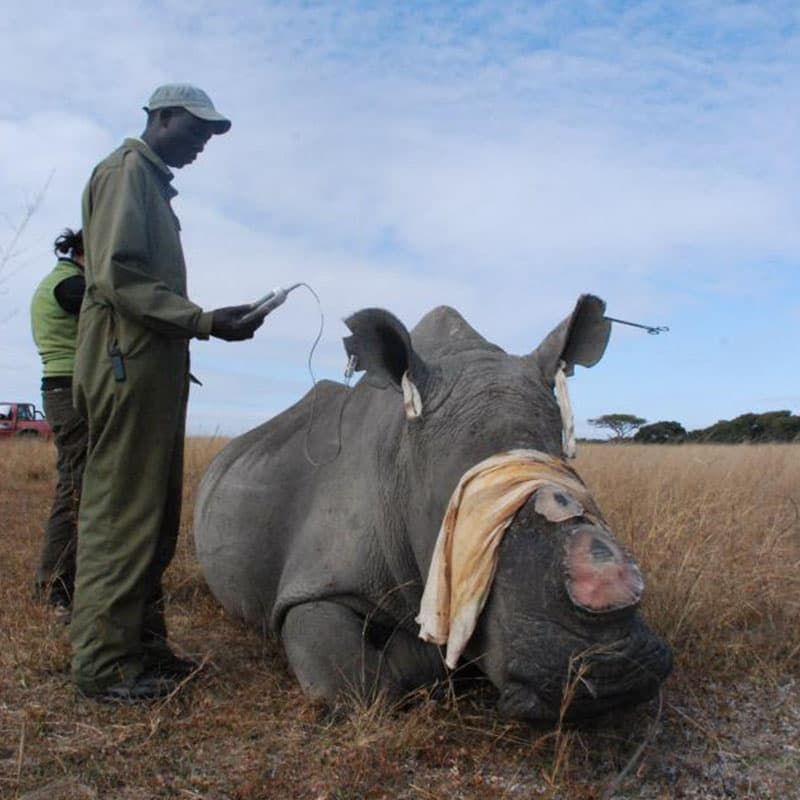 Imire Horn Removal Rhino