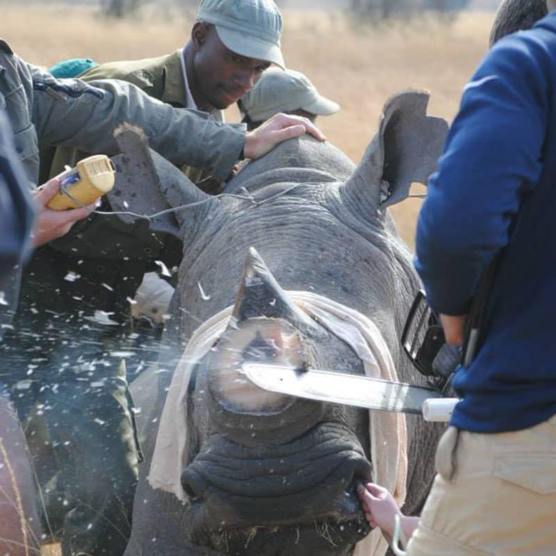 Imire Rhino Dehorning