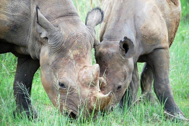 Imire home Two Rhinos Eating Grass