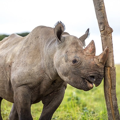 IMIRE RHINO ITCHY NOSE