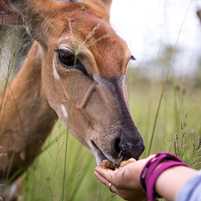 Volunteer in Africa Working with Nyala (1)