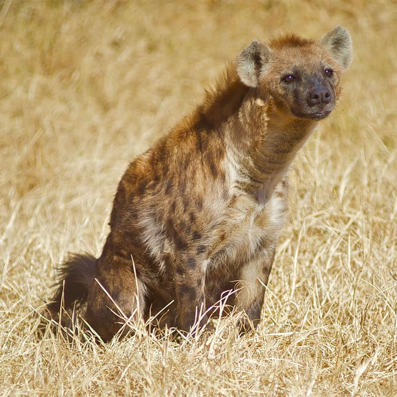 _other-wildlife-1-hyena