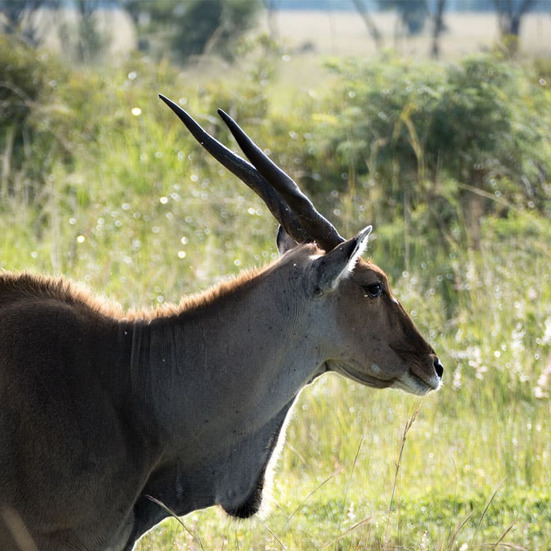 other-wildlife-eland