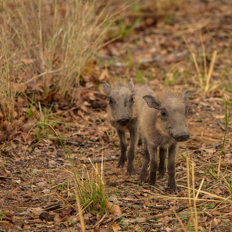 other-wildlife-warthog