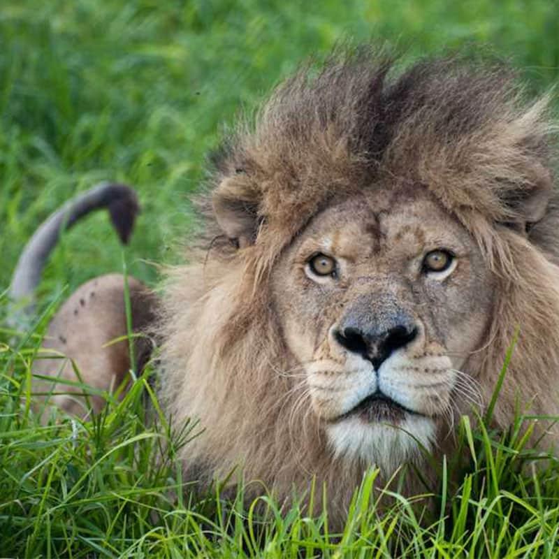 other-wildlife-lion