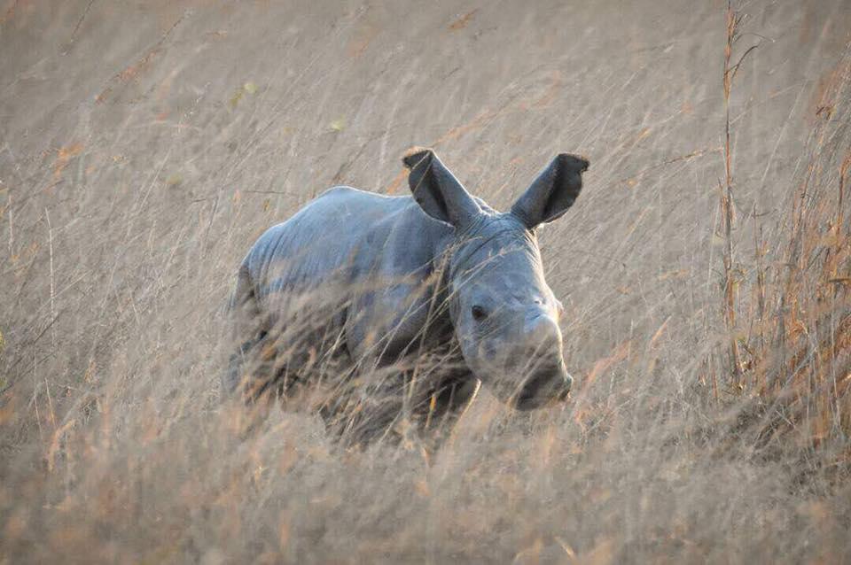 baby white rhino imire