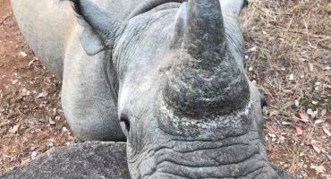 black rhino Imire
