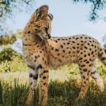 Nyasha serval cat