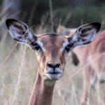 Impala at Imire