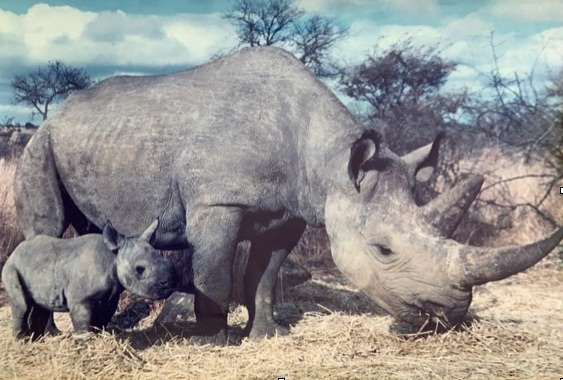 Baby rhino and mother Zimbabwe
