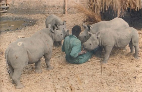 Orphaned baby rhinos being cared for 1987