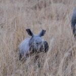 White rhino mother and baby white rhino