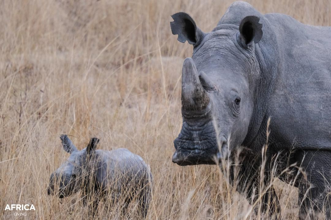 white rhino and calf Imire Zimbabwe