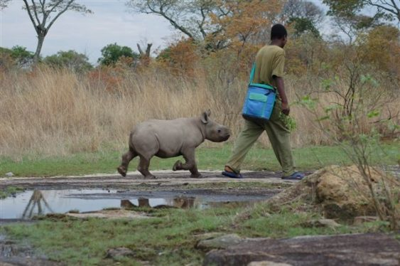 baby rhino and handler