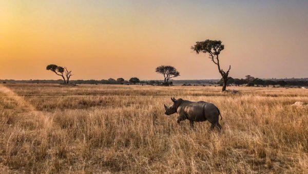 Black rhino at sunset in Zimbabwe