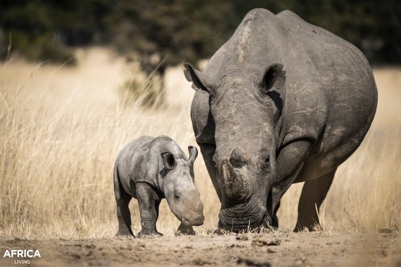 White rhino and calf in Zimbabwe