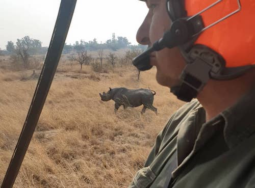 Black rhino being chased by helicopter