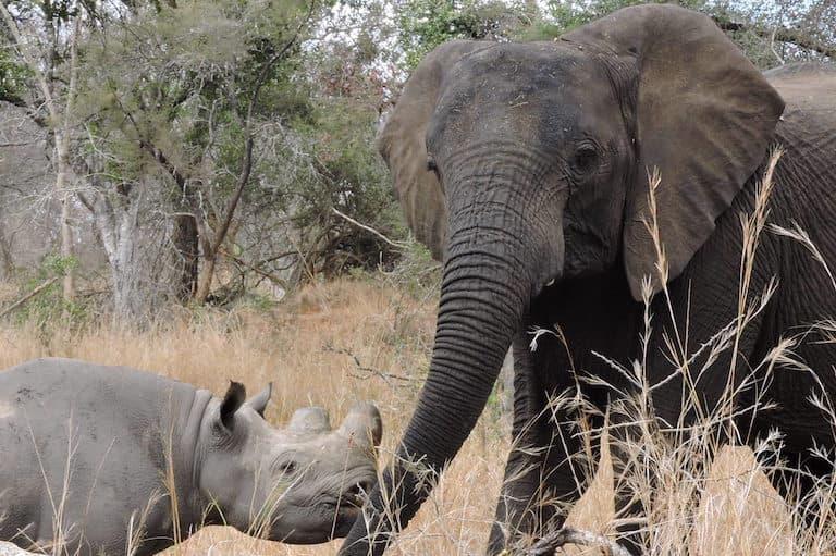 Elephant and rhino together in Zimbabwe