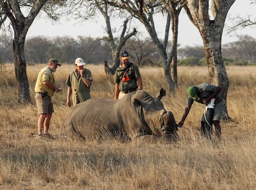White rhino collaring operation in Zimbabwe