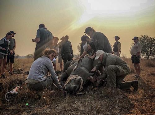 White rhino being collared in Zimbabwe