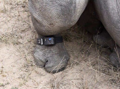 White rhino ankle collar
