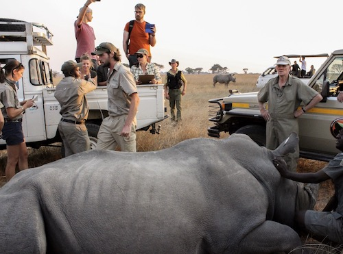 White rhino being collared