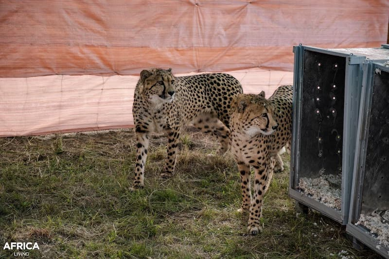 Cheetah leaving the crate